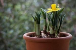 Tavaszi hagymások ültetése cserépbe