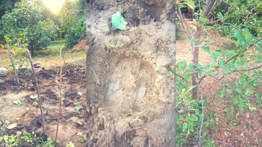 Gellért-hegyi szarvas: megette az almát, a sóskát és lerágta a fiatal hajtásokat