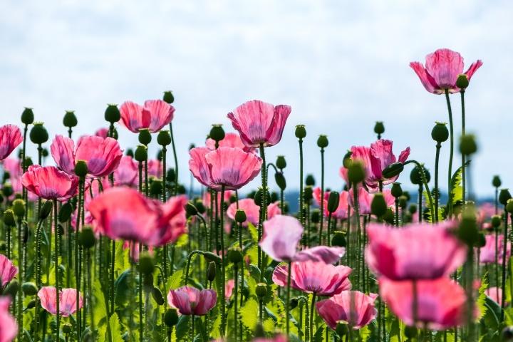 poppy-5351553_1920