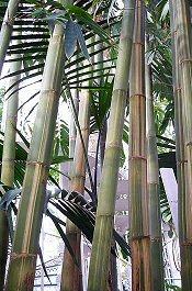 Égig érő bambusz a kertünkben?