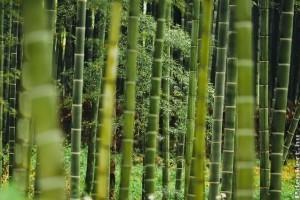 Hogyan neveljünk óriási bambuszt a kertünkben?