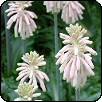 Hengeresliliom (Veltheimia capensis)