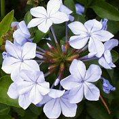 �LOMVIR�G (Plumbago auriculata)