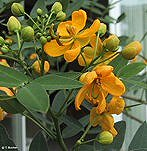 KASSZIA (Cassia corymbosa)