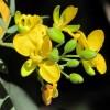 A fűszerillatú kasszia (Senna corymbosa)