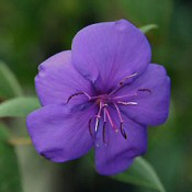 IBOLYAFA (Tibouchina urvilleana)