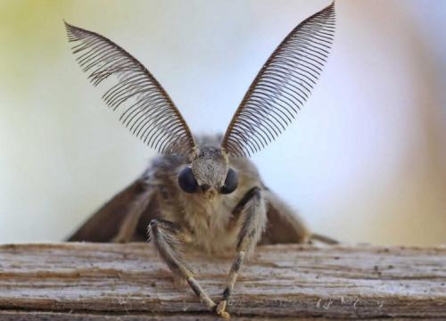 A hímeket a tájékozódásban jellegzetes nagy, tollas csápjaik is segítik