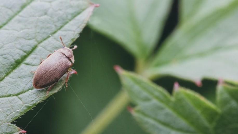 Hogyan védekezzünk a kis málnabogár ellen?