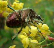 Aranyos rózsabogár: zizegő, zöld cirkáló. Ne félj tőle!