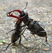 A Kárpát-medence legnagyobb bogara: szarvasbogár