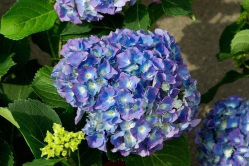 kék horteniza