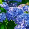 Miért kékül a hortenzia?