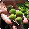 Miért fontos a gyümölcsritkítás?