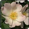 Miért szeretjük a rózsát?