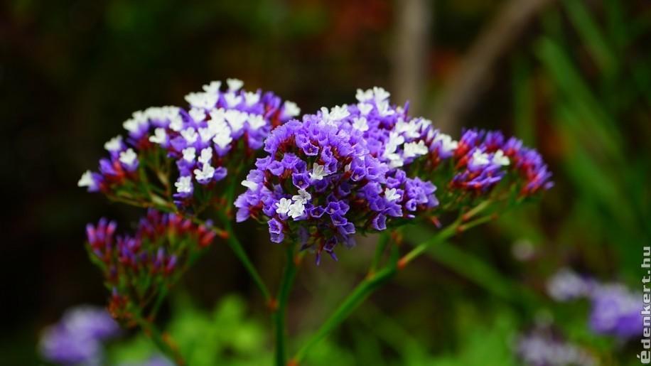 Szárazvirágok, melyeket saját kertben is nevelhetünk