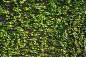Milyen növények alkalmasak a házunk befuttatására?