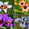 Dél-Afrika, a hagymás növények paradicsoma