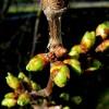 Hogyan kell metszeni a cseresznyefát?