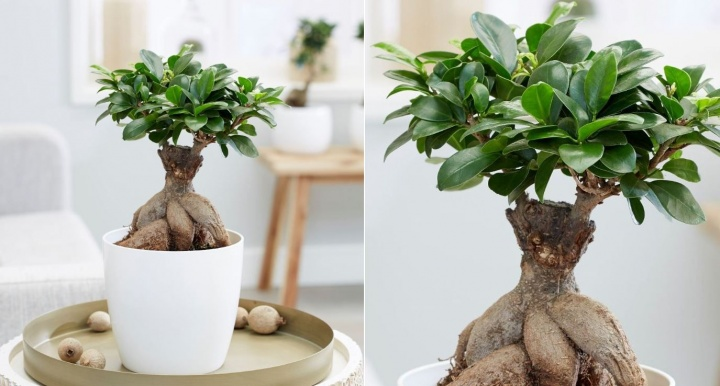 fikusz_bonsai