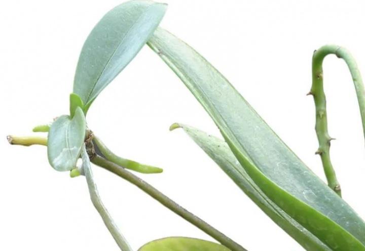 orchidea_szaporitasa_phalaenopsis