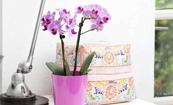 lepkeorchidea_phalaenopsis