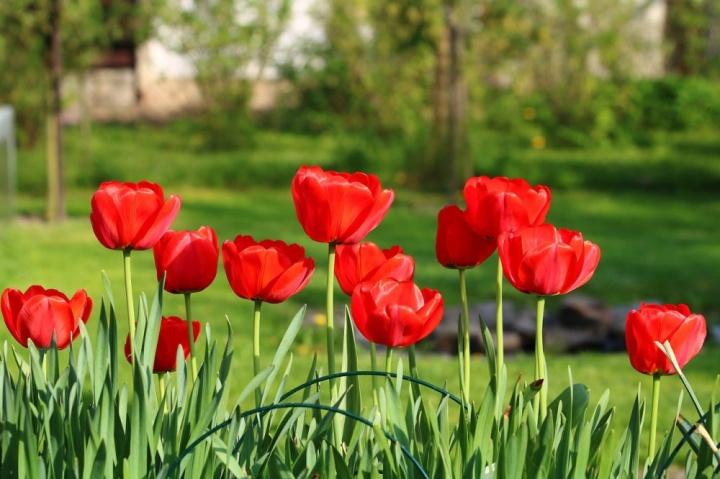 hagymasok_ultetese_tulipan
