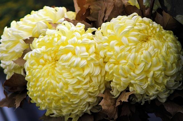 chrysanthemums-3795005_640