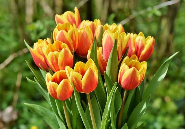 tulip-3316489_640