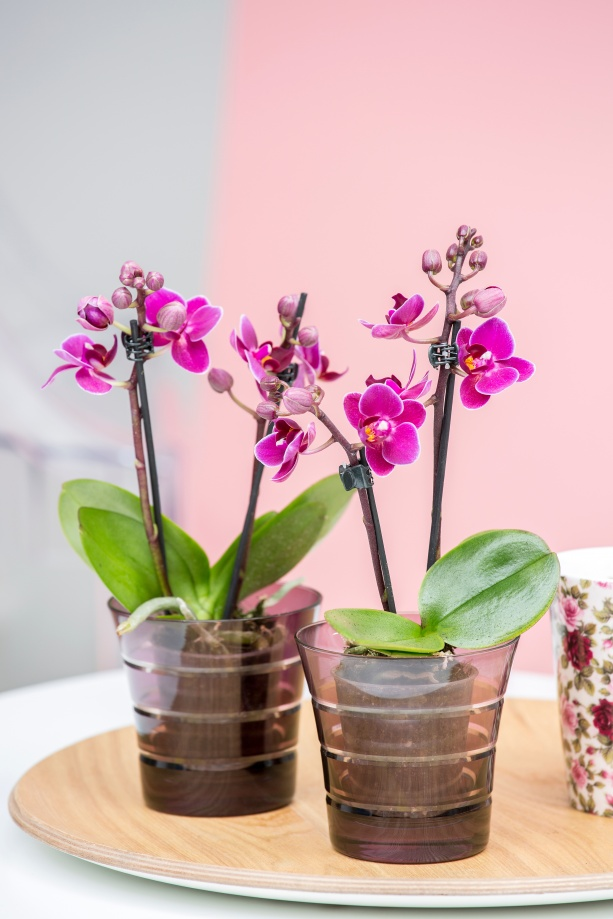 phalaenopsis_mini_