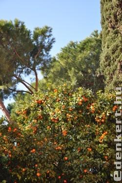 Mandarin in Rome (január)