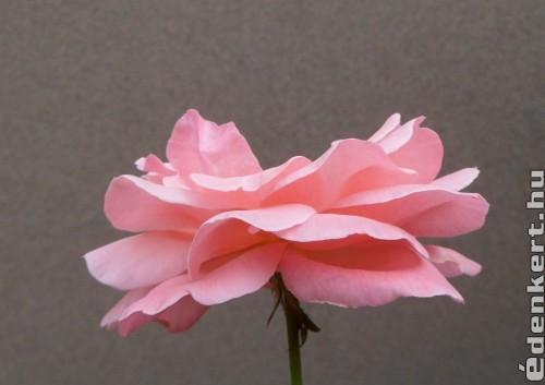 Még nyílnak  a ( völgyben ) kertben a gyönyörű virágok !