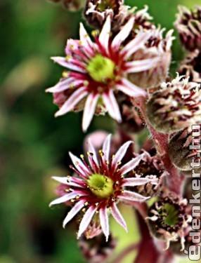 Kövirózsa virága