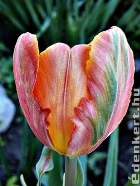 Tarka tulipán