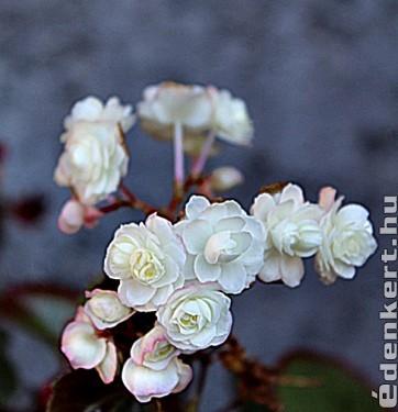 Fehér begónia