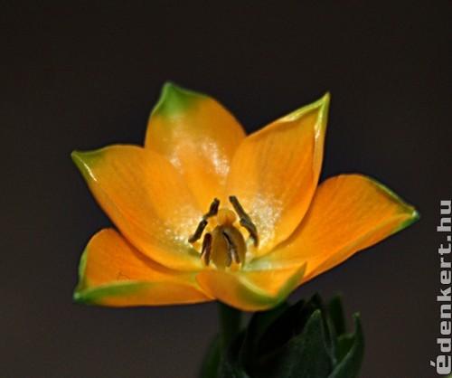 Narancsszínű madártej