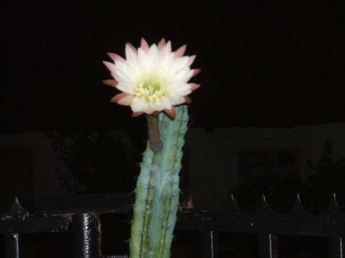 Éjjeli szépség