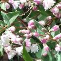 Gyöngyvirág-cserje