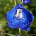 Nemes szarkaláb virága