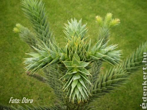 Chilei fenyőfa
