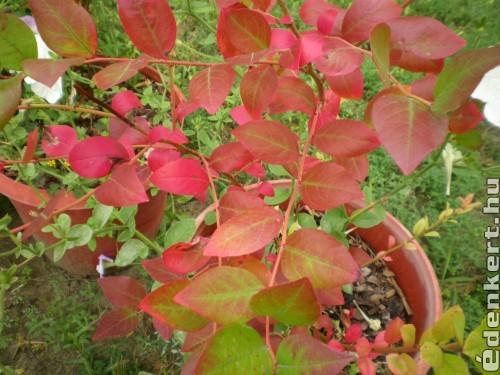 Áfonya őszi színben