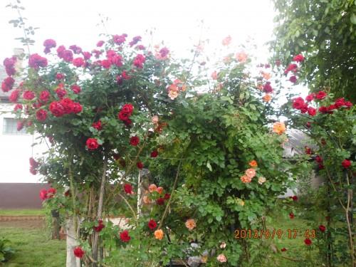 Rózsáink