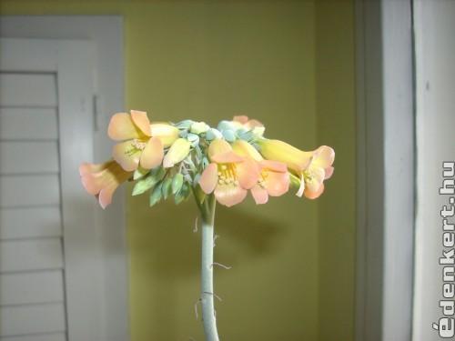 Elevenszűlő pozsgás növény.