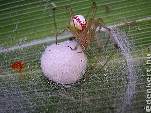 A pók anyuka