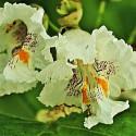 Szivarfa virága