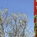 Fehér virágú júdás fa