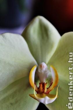 Orchidea belső