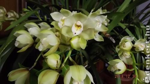 Cymbidium virágzás
