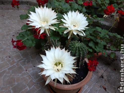 Kaktuszom virágai