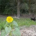 napraforgó és a Négyláb az erdőszélen