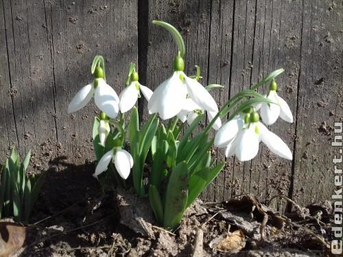 Tavaszi hírnök